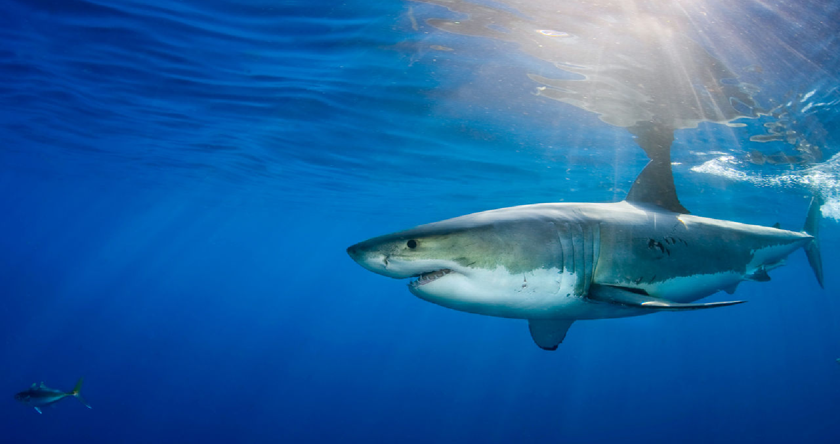 Sharks Use Earth's Magnetic Fields To Find Their Way Home